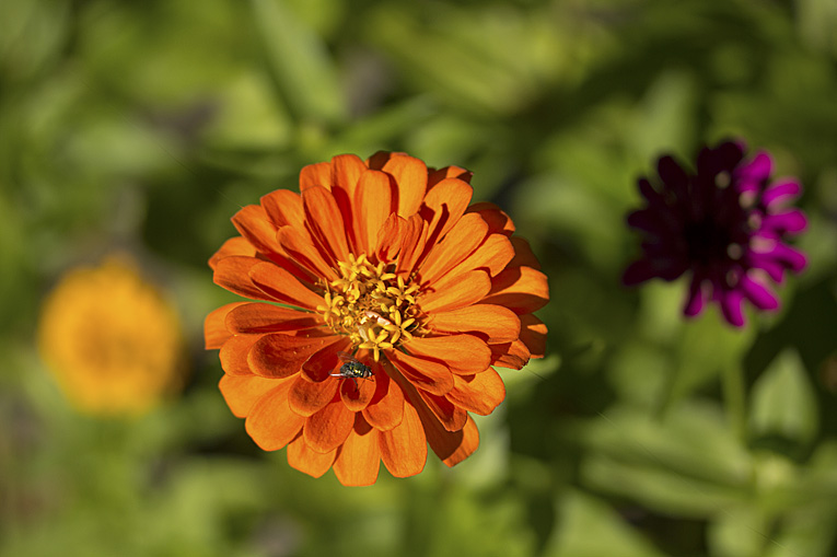 Zinnia and fly